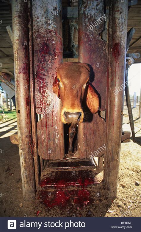 Cow subjected to terrible inhumane treatment and suffering