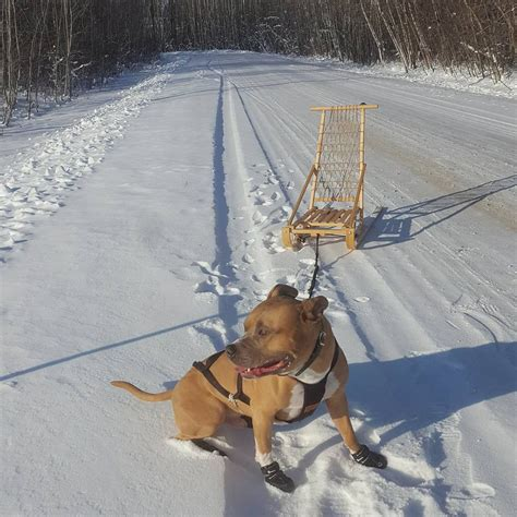 HOW TO: Training your dog to pull for kick-sledding or ski