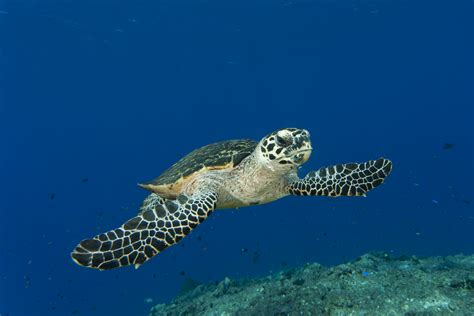 Royal Caribbean partners with WWF to protect Hawksbill