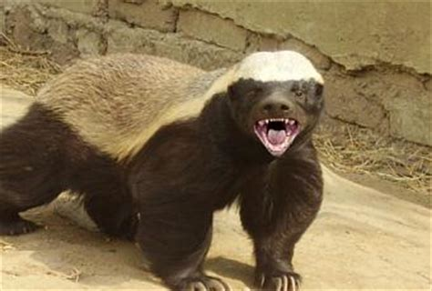 Why The Honey Badger Is The Most Fearless Animal on The