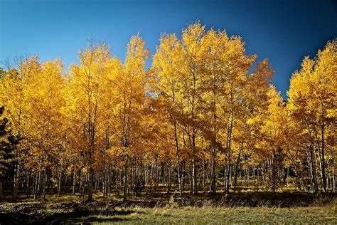 Quaking Aspen For Sale Online   The Tree Center
